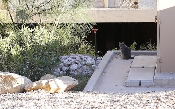 aaron montes / The Prospector Feral cats are unadoptable and when they are taken to animal shelters, 99 percent of them will be euthanized within three days..