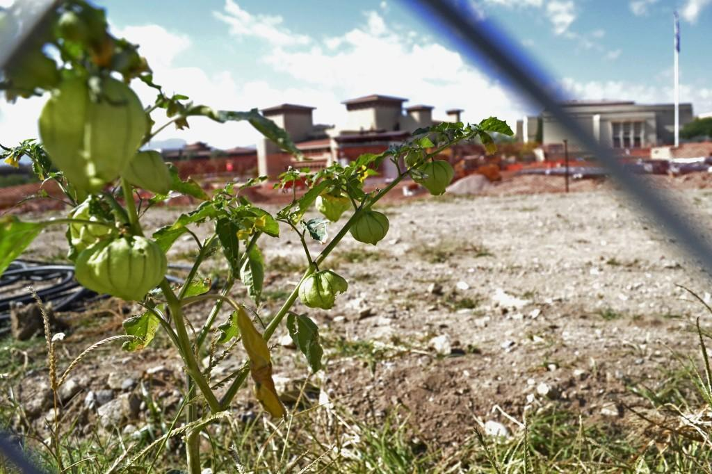 Tomatillos growing in front of the UTEP Dinner Theatre.
