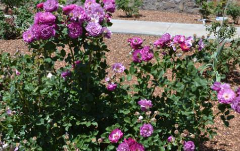 Purple roses from El Paso's Municipal Rose Garden