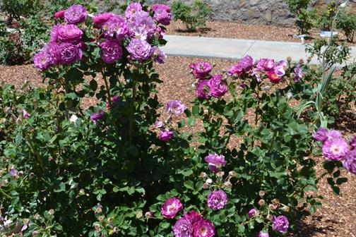 Purple roses from El Paso's Municipal Rose Garden