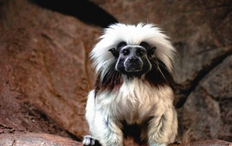 The Tamarin monkeys at the El Paso Zoo will be fed cockroaches on Valentine's Day, as a part of their